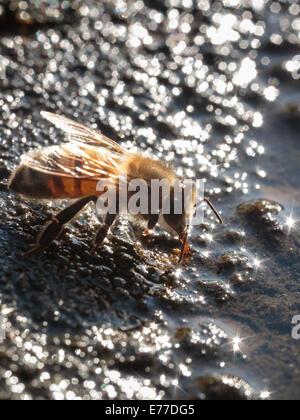 Eine Honigbiene Trinkwasser. - Stockfoto