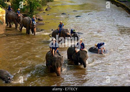 Mahouts Baden ihre asiatische oder asiatische Elefanten (Elephas Maximus) im Fluss Mae Tang, Maetaman Elephant Camp - Stockfoto