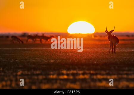 Weidet eine Herde von endemische schwarze Letschwe bei Sonnenaufgang auf die Überschwemmungsgebiete der Bangweulu - Stockfoto