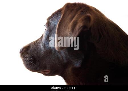 Chocolate Labrador Retriever Erwachsene Hündin Porträt - Stockfoto