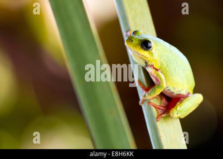 Ein Reed-Frosch klammert sich an ein Rohr in den Bangweulu Feuchtgebieten, Sambia. - Stockfoto