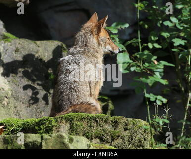Goldene oder gemeinsame Jackal (Canis Aureus) - Stockfoto