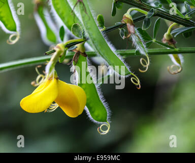 Eine Nahaufnahme von einer gemeinsamen Ginster (Cytisus Scoparius) einzelne Blume Nahaufnahme der gelben Blüten - Stockfoto