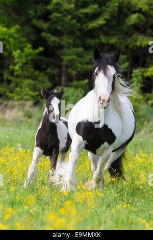 Gypsy Vanner gescheckten Pferd Stute Fohlen galoppieren Wiese Österreich - Stockfoto
