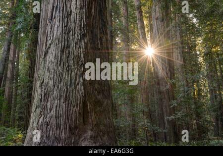 USA, California, Redwood National Park, Sunburst durch Redwood-Bäume in Stout Grove - Stockfoto