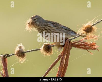 Schöne Singdrossel [Turdus Philomelos] thront auf einem Drahtzaun Schafwolle im Schnabel zu sammeln. - Stockfoto