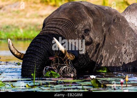 Afrikanische Elefanten ziehen Sie Wasserpflanzen zu Essen mit Stoßzähnen und Kofferraum. - Stockfoto