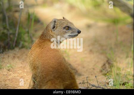 Nahaufnahme eines gelben Mungo oder rote Erdmännchen (Cynictis Penicillata) im Sommer, Deutschland. - Stockfoto