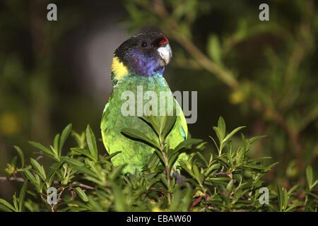 Australisches Ringneck Papagei (Barnardius, Zonarius) 28-Form. Südwesten Westaustralien - Stockfoto