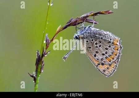 gemeinsamen blau (Polyommatus Icarus), auf ein Gras-Ohr mit Morgen Tau, Deutschland, Niedersachsen - Stockfoto