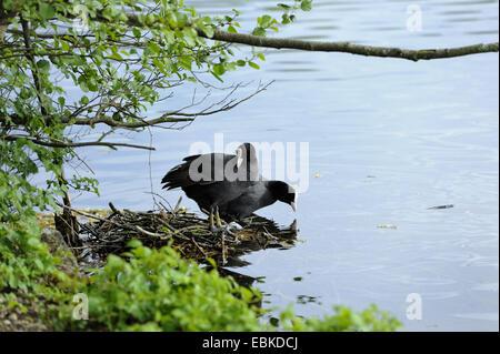 schwarzen Blässhuhn (Fulica Atra), paar am Nest auf einem See Ufer, Deutschland, Bayern - Stockfoto