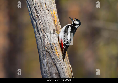 Buntspecht (Picoides großen, großen Dendrocopos), auf den Feed unter einem alten Baumstamm, der Schweiz, Sankt Gallen - Stockfoto