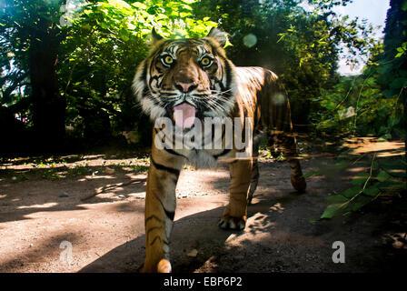 Tiger mit seiner Zunge an die Besucher des Zoos in Frankfurt Am Main, Deutschland. - Stockfoto