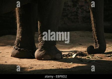 Indischer Elefant (Elephas Maximus Indicus) angekettet in seinem Gehege im zentralen Zoo in Kathmandu, Nepal. - Stockfoto