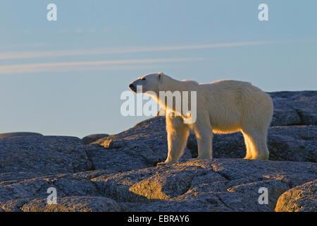 Eisbär (Ursus Maritimus), steht auf den Felsen am Abend Sonne, Norwegen, Svalbard - Stockfoto
