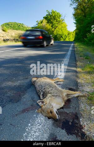 Goldschakal (Canis Aureus), überfahren Goldschakal am Straßenrand, Bulgarien, Biosphaerenreservat Ropotamo - Stockfoto