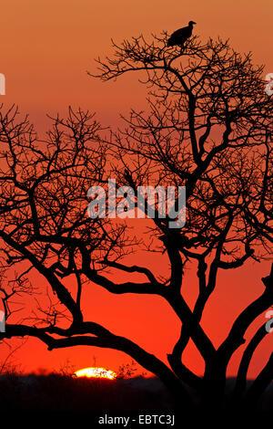 Geier auf einem Baum im Sonnenuntergang, Südafrika, Krüger Nationalpark, untere Sabie Camp - Stockfoto