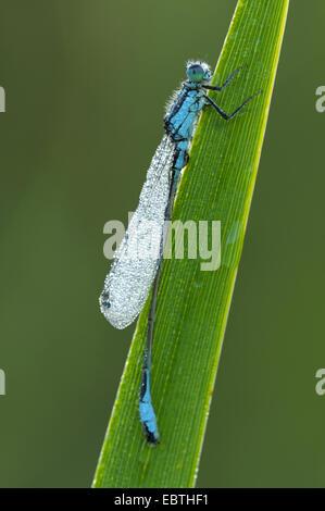 gemeinsamen Ischnura, blau-tailed Damselfly (Ischnura Elegans), mit Morgentau, Deutschland, Nordrhein-Westfalen - Stockfoto