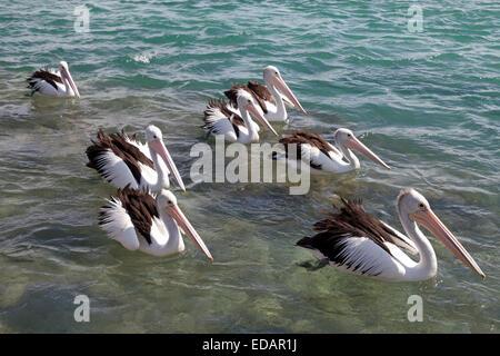 Pelikane schweben in der Tasmanischen See, Australien - Stockfoto
