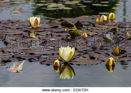Aus weißen Lilien in einem Teich auf Fischers Spaziergang, Southbourne, in der Nähe von Bournemouth, Dorset, UK. - Stockfoto