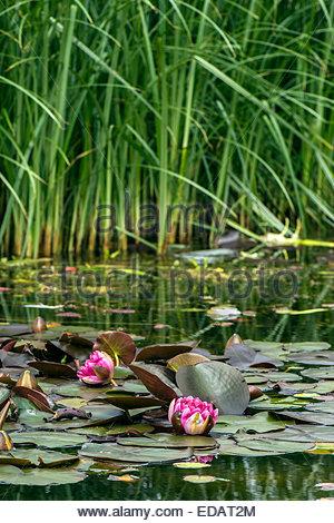 Dunkele rosa Lilien mit hohe Gräser im Hintergrund in einem Teich auf Fischers gehen, Southbourne, in der Nähe von - Stockfoto