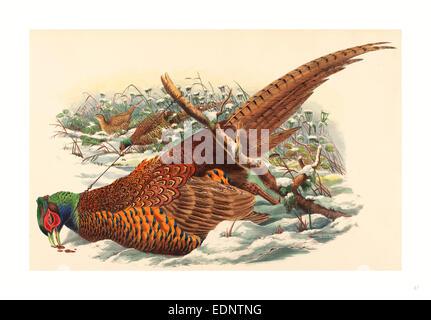 John Gould und W. Hart (British, aktive 1851 1898), Phasianus Colchicus (Ring – Necked Fasan), farbige Lithographie - Stockfoto