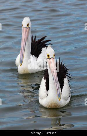 Pelikane in Dalrymple Bucht; Gippsland, Victoria, Australien - Stockfoto