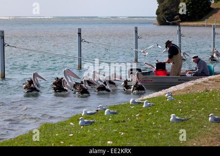 Pelikane in Dalrymple Bucht beobachten Fischer Reinigung Fische in Gippsland, Victoria, Australien - Stockfoto