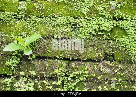 Moos und Unkraut bedeckt Ziegelwand in Ubud, Bali. - Stockfoto