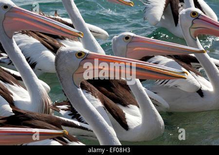 Gruppe der Pelikane in der Tasmanischen See, Australien - Stockfoto