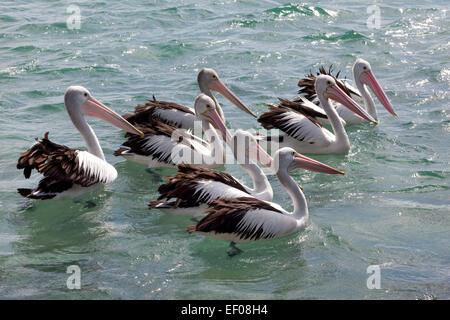 Gruppe von Pelikane schweben in der Tasmanischen See, Australien - Stockfoto