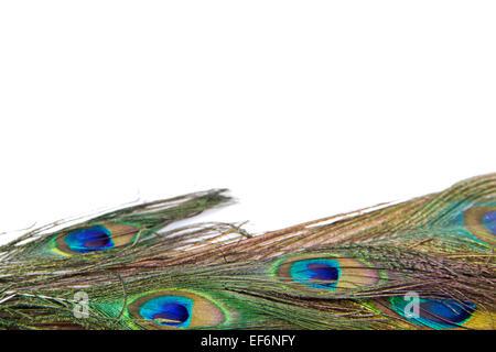Pfauenfedern isoliert auf weißem Hintergrund - Stockfoto