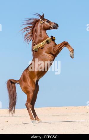 Arabian Horse Chestnut Hengst Aufzucht der Wüste Silhouette gegen den Abendhimmel Ägypten - Stockfoto