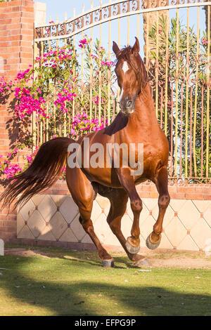 Arabian Horse Chestnut Hengst Aufzucht vorderen Zaun Ägypten - Stockfoto