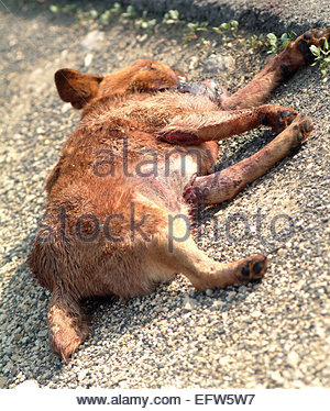 Road Kill tote Hunde Tier gedacht, um eine wilde ungarische Goldschakal in der Nähe von Budapest - Stockfoto
