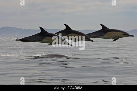 Drei gemeinsame Delfine (Dephinus Delphis) Porpoising False Bay Cape Town South Africa. - Stockfoto