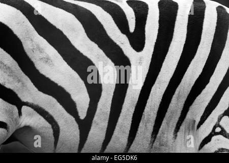 Echte Zebra Muster Nahaufnahme. Schwarz und weiß Streifen Hintergrund - Stockfoto
