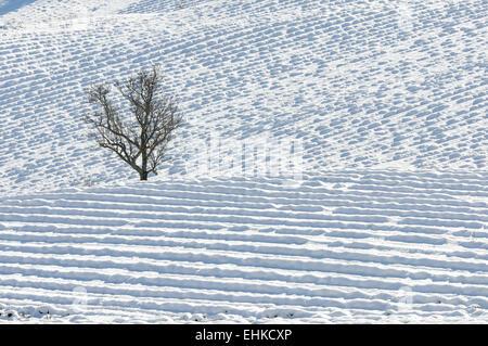 Einsamer Baum in einem Feld von Lavendel im Schnee - Stockfoto