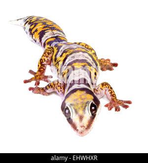 Ein Castelnau samt Gecko (Oedura Castelnaui) auf weißem Hintergrund - Stockfoto
