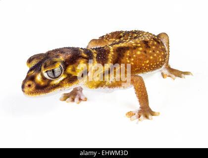 Einen glatten Knopf Tail Gecko (Nephrurus Levis Levis) auf weißem Hintergrund - Stockfoto