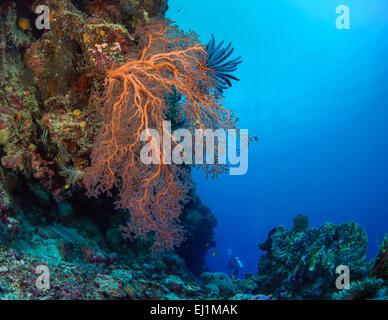Orange Gorgonien Gorgonien auf Legde mit Taucher im Blauwasser Hintergrund. Spratly Insel, South China Sea. - Stockfoto