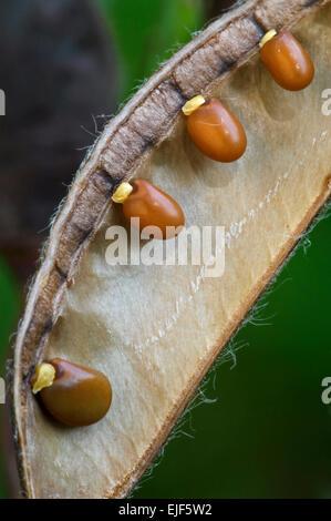 Gemeinsamen Besen / Scotch Ginster (Cytisus Scoparius / Sarothamnus Scoparius) innerhalb der Samenschote zeigt Samen - Stockfoto