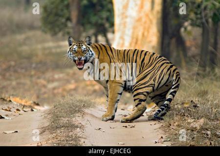 Bengal-Tiger (Panthera Tigris Tigris) zeigt Zähne, Bandhavgarh, Indien - Stockfoto