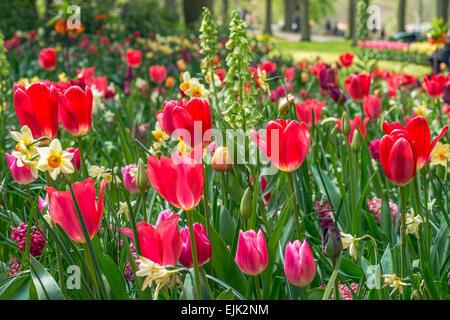 Blumenbeet mit roten Tulpen (Tulipa) im Frühling - Stockfoto