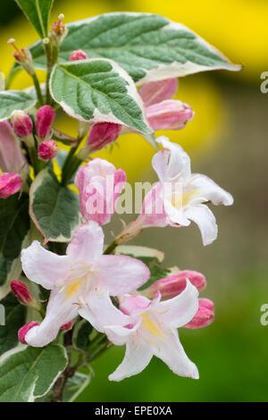 Rosa Blüten und bunten Laub der winterharte Strauch Weigela Florida 'Variegata' - Stockfoto