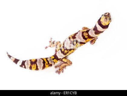 Eine Draufsicht auf ein Castelnau samt Gecko (Oedura Castelnaui) auf weißem Hintergrund - Stockfoto