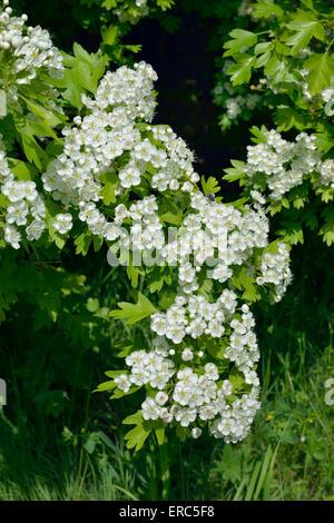 Kann oder Weißdorn Blossom - Crataegus Monogyna - Stockfoto
