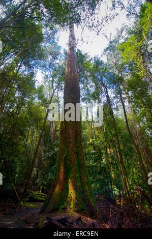 Hohe Bäume, Pandani Groove Naturlehrpfad, Mount Field National Park, Tasmanien - Stockfoto