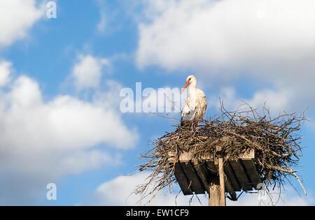 Weißer Storch (Ciconia Ciconia) stehen auf dem Nest, blauen Himmel und weiße Wolken im Hintergrund - Stockfoto
