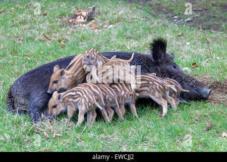 Wildschwein (Sus Scrofa). Säugende Ferkel zu säen. Deutschland - Stockfoto